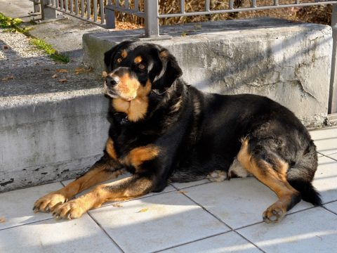 psicotecnicos Parla animales peligrosos, perro grande